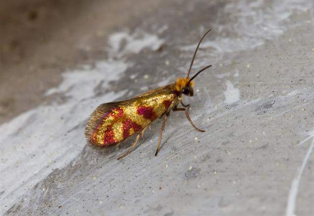 Micropterix tunbergella photo
