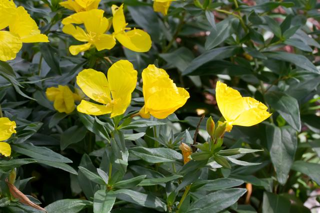 Narrowleaf evening-primrose (Oenothera fruticosa)
