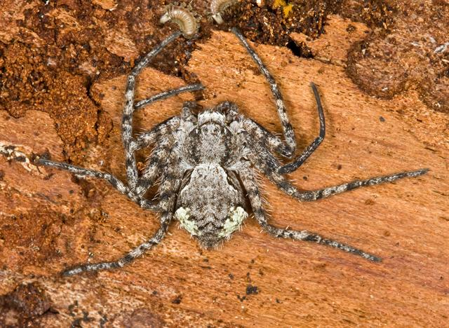 Philodromus margaritatus photo