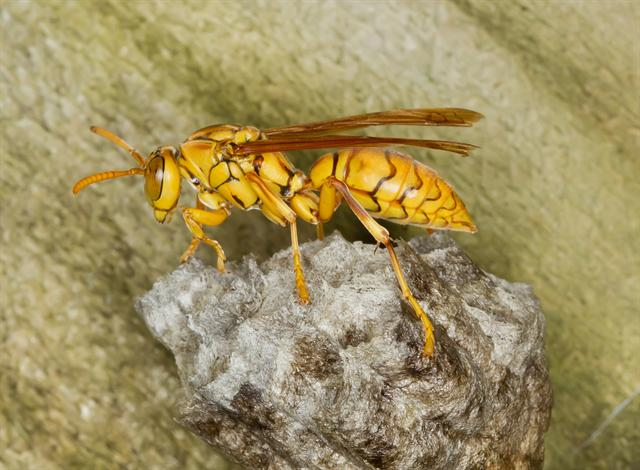 Yellow Paper-Wasp (Polistes olivaceus)