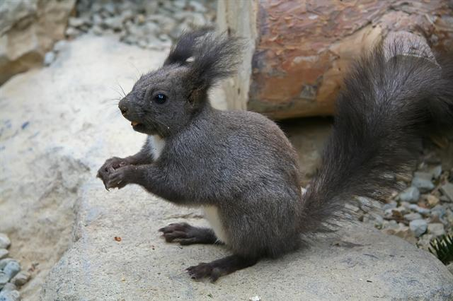 Tassel-eared squirrel (Sciurus aberti)