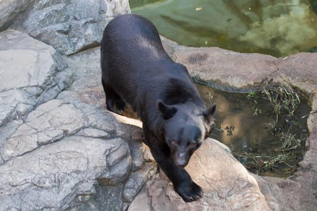 Asian Black Bear (Selenarctos thibetanus ssp. japonicus)