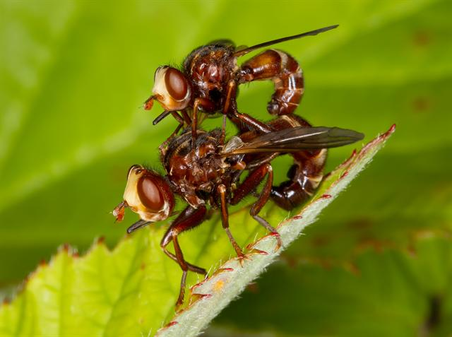 Sicus ferrugineus photo
