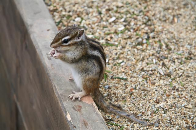 Chipmunk (Tamias sp.)