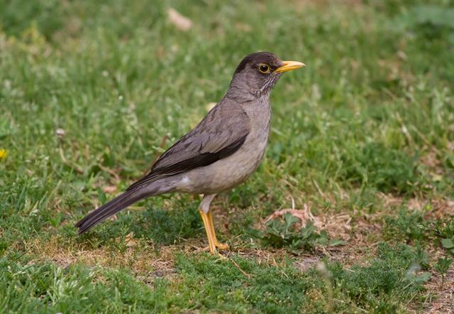 Turdus falcklandii photo