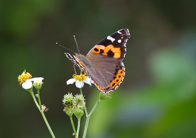 Indian Red Admiral (Vanessa indica)