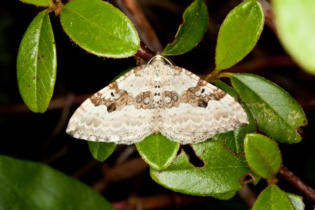 Silver-ground Carpet (Xanthorhoe montanata)