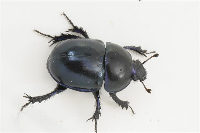 Geotrupes vernalis photo