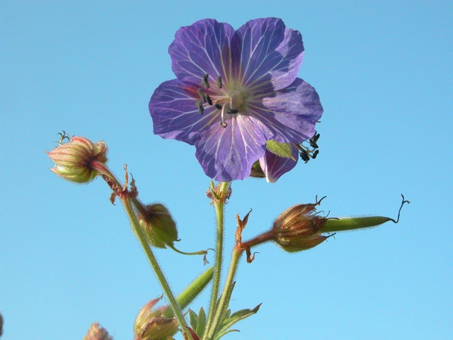 Meadow Crane´S-Bill (Geranium pratense)