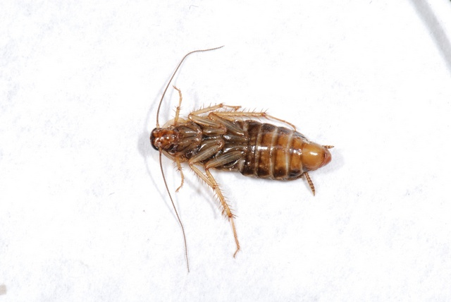 German cockroach (Blattella germanica) photo