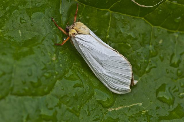 Ghost Moth (Hepialus humuli) photo