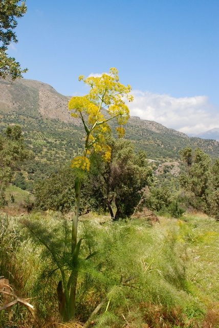 Giant fennel (Ferula communis ssp. communis) photo