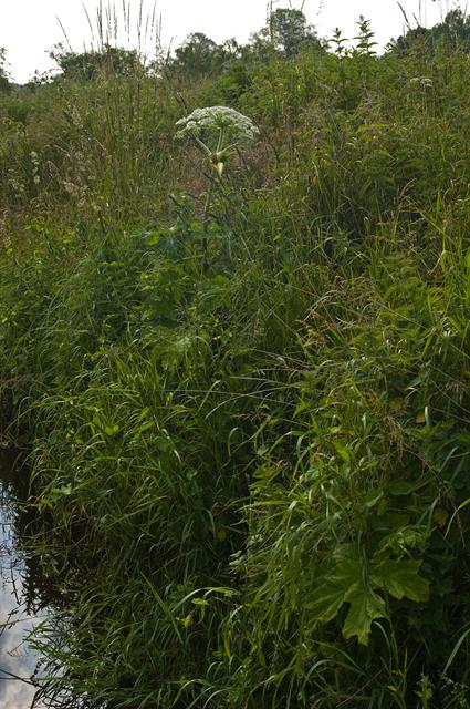 Giant Hogweed (Heracleum mantegazzianum) photo