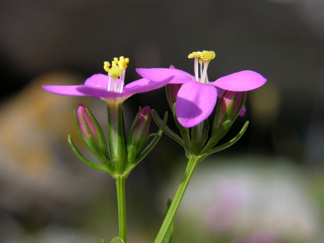 Gilmour Seaside Centaury (Centaurium littorale) photo