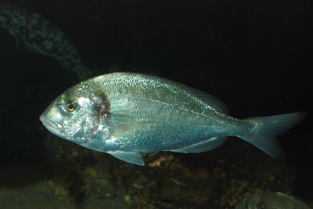 Gilthead seabream (Sparus aurata) photo