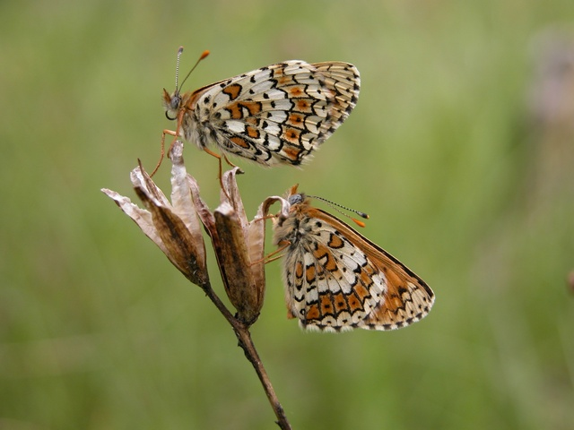 Glanville Fritillary (Melitaea cinxia) photo