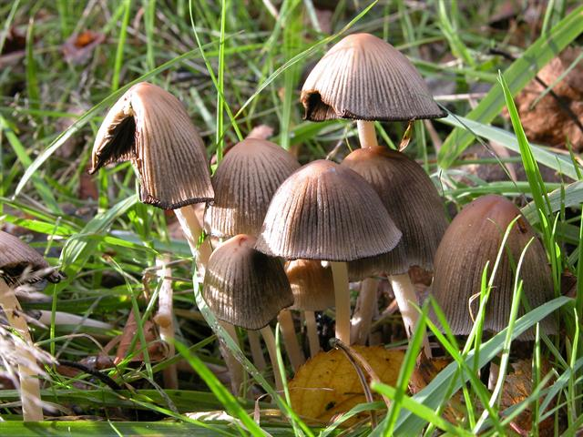 Glistening Ink Cap (Coprinellus micaceus) photo