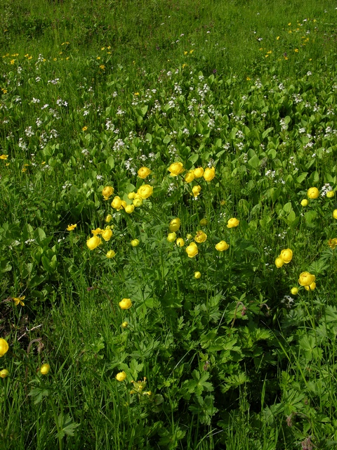 Globe-Flower (Trollius europaeus) photo