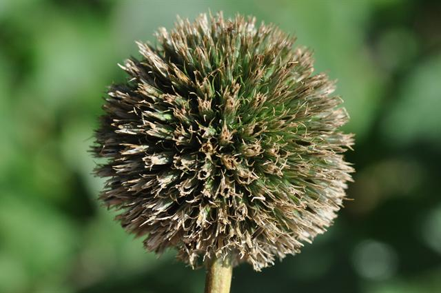 Globe-Thistle (Echinops exaltatus) photo