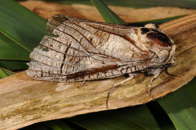Goat Moth (Cossus cossus) photo