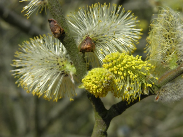 Goat Willow - Pussy Willow (Salix caprea) photo