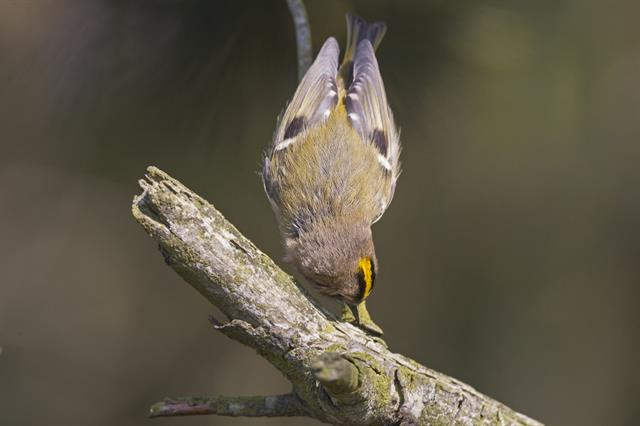 Goldcrest (Regulus regulus) photo