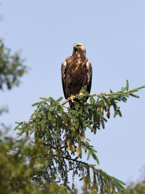 golden eagle (Aquila chrysaetos) photo