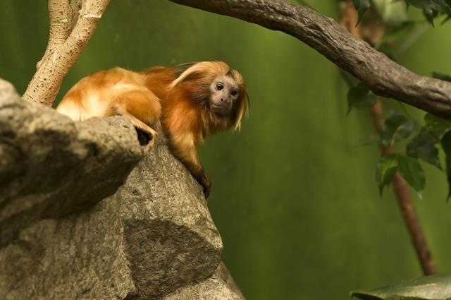 Golden lion tamarin (Leontopithecus rosalia) photo