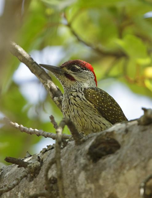Golden-tailed Woodpecker (Campethera abingoni) photo