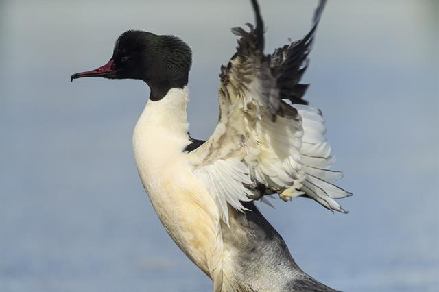 Goosander (Mergus merganser) photo