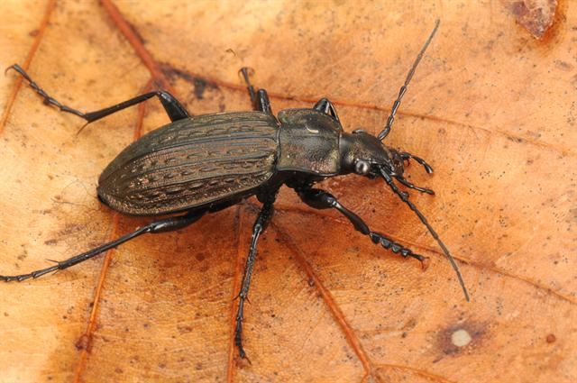 Granular beetle (Carabus granulatus) photo