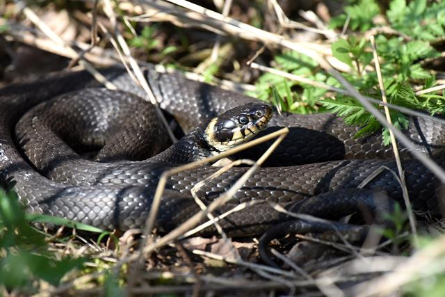 Grass Snake (Natrix natrix) photo
