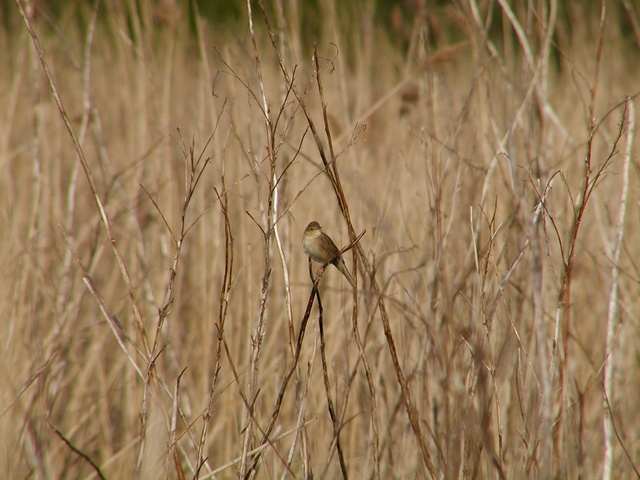 Grasshopper Warbler (Locustella naevia) photo