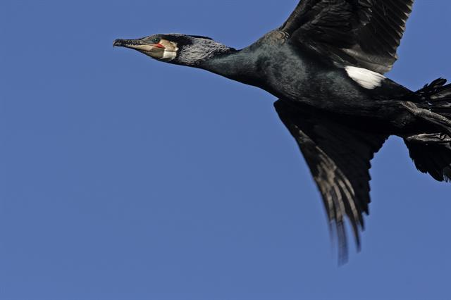 Great Cormorant (Phalacrocorax carbo) photo