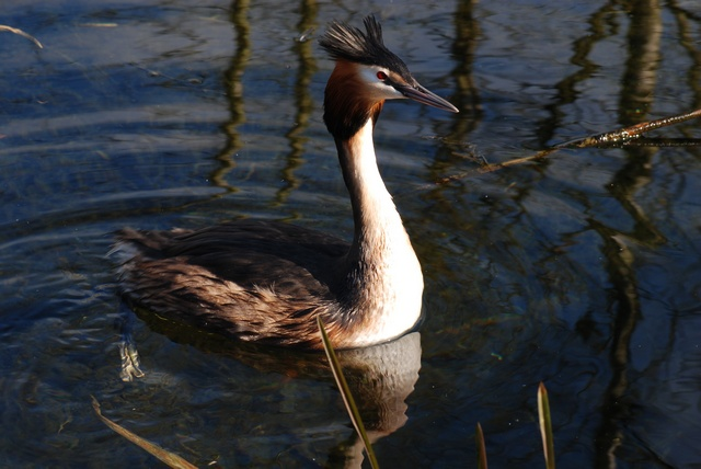 Great Crested Grebe (Podiceps cristatus) photo