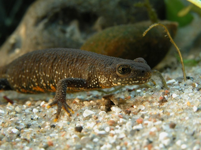 Great Crested Newt (Triturus cristatus) photo