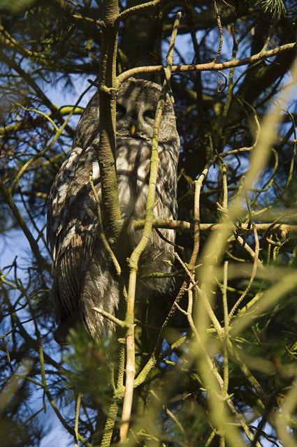 Great Grey Owl, Great Gray Owl (Strix nebulosa) photo