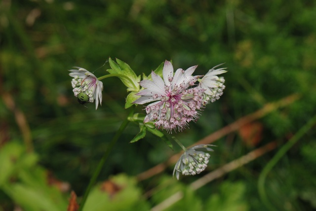 Great Masterwort (Astrantia major) photo