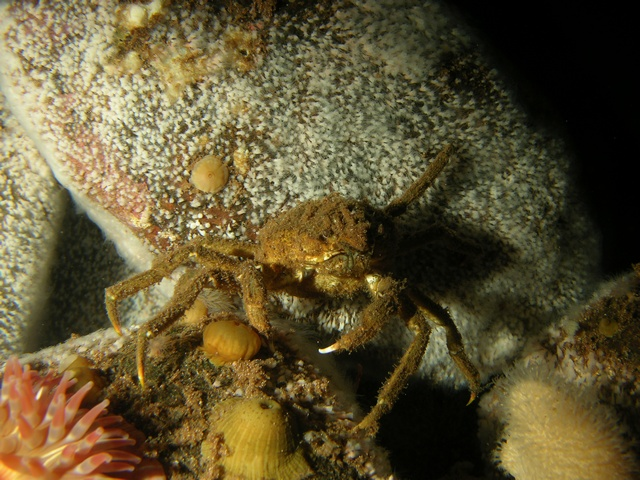 Great spider crab (Hyas araneus) photo