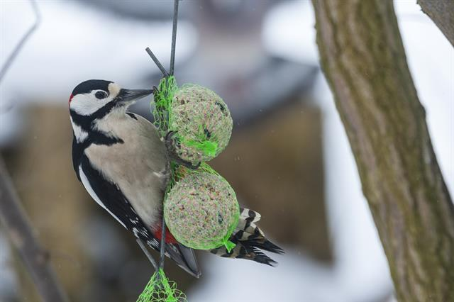 Great Spotted Woodpecker (Dendrocopos major) photo
