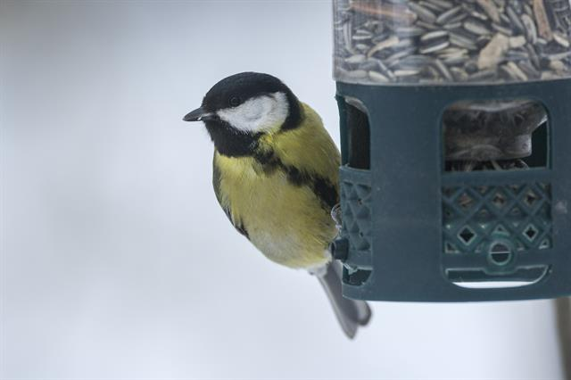 Great Tit (Parus major) photo