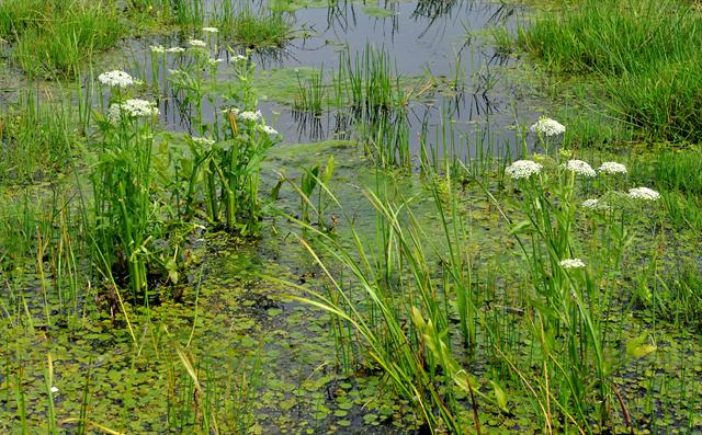 Great Water-Parsnip (Sium latifolium) photo