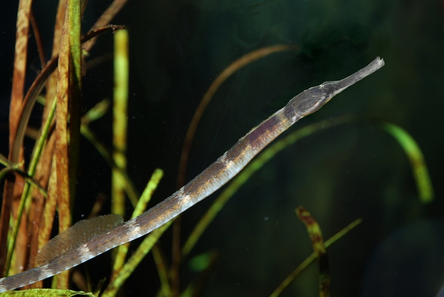 Greater pipefish   (Syngnathus acus) photo