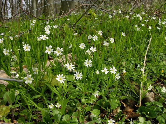 Greater Stitchwort (Stellaria holostea) photo