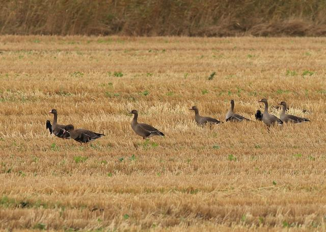 Greater White-fronted Goose (Anser albifrons) photo