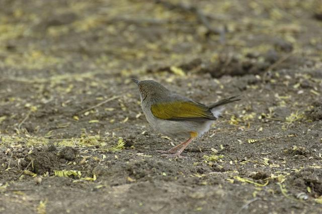 Green-backed Camaroptera (Camaroptera brachyura) photo