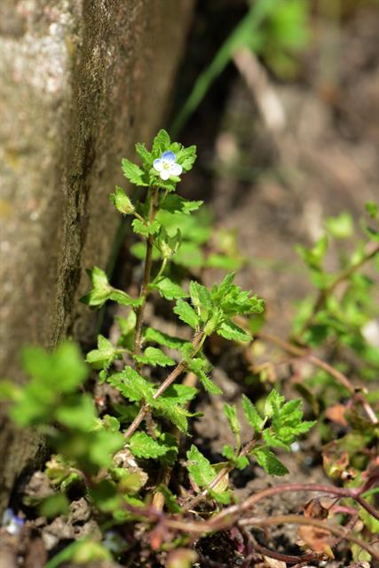 Green Field Speedwell (Veronica agrestis) photo
