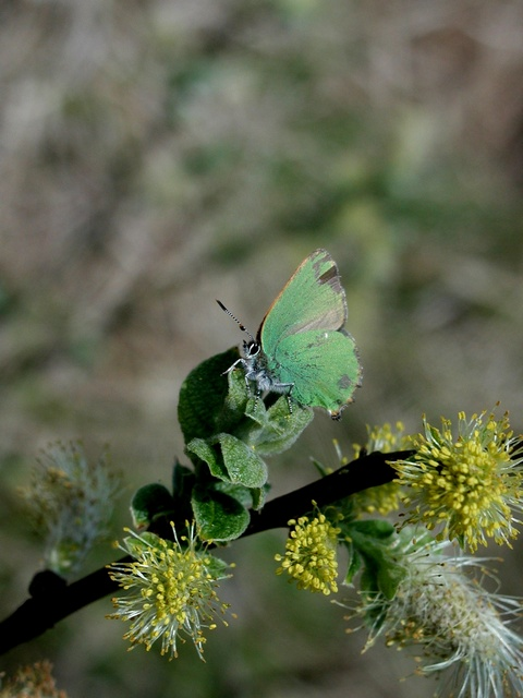 Green Hairstreak (Callophrys rubi) photo