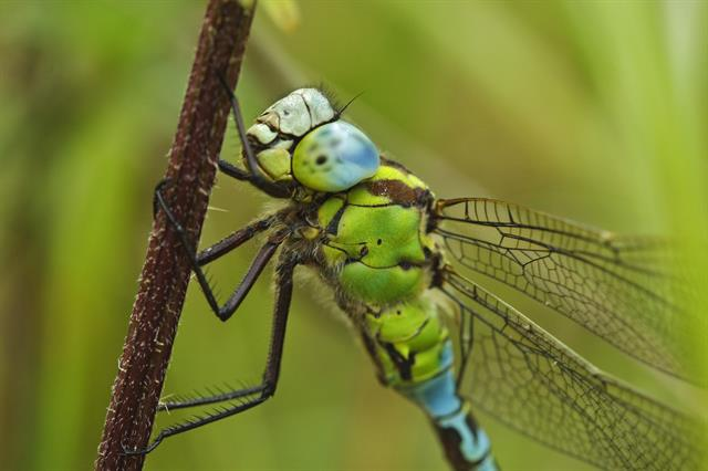 Green Hawker (Aeshna viridis) photo