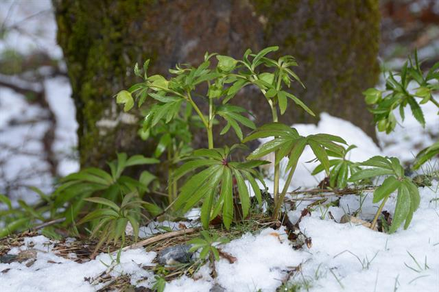 Green Hellebore, Bear´s-foot (Helleborus viridis) photo